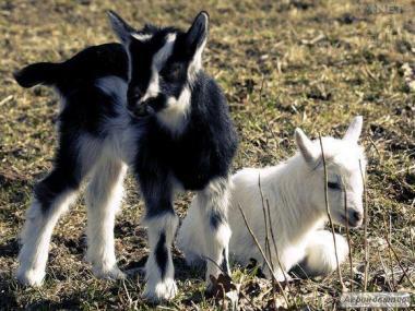 Продам козлят(козочек)