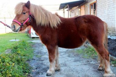 кінь поні жеребець