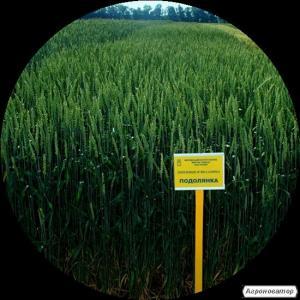 озимая пшеница Подолянка (элита)