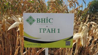 Насіння Кукурудзи Гран 1 ФАО 370 від ВНІС
