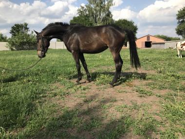 Продам лошадь верховой породы
