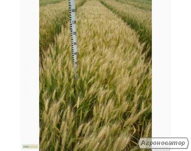 Насіння пшениці озимої - сорт Смуглянка. Еліта й 1 репродукція