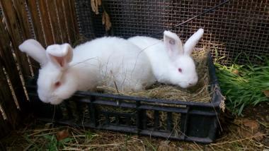 Кролики-НЗБ