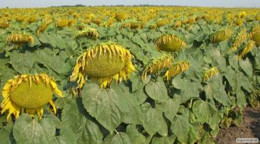 Семена подсолнечника  гибрид ЛОГОС (F1)  от производителя.