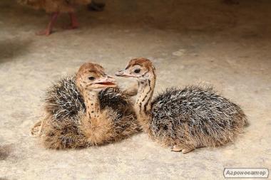 продам страусів