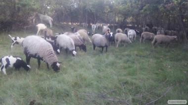 Продам овцематок романовской породы