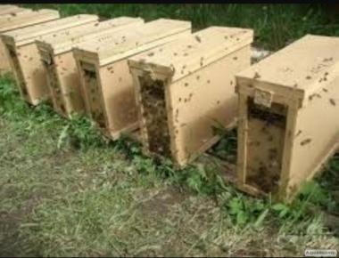 Бджолопакети 4-х рамкові, рамка Дадан. : Карніка, Карпатка 1100
