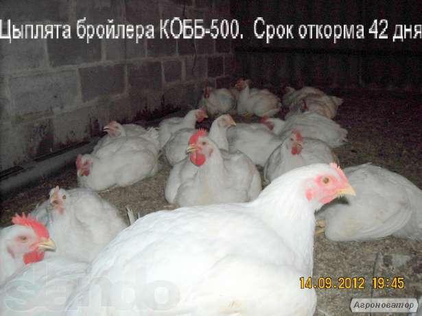 Інкубаційне яйце бройлера КОББ-500