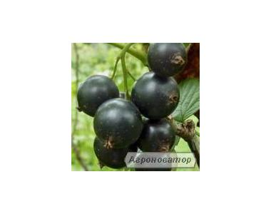 Продам саджанці смородини різних сортів плодоношення від 5 грн.