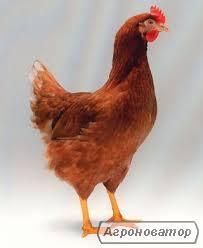 Кури несучки Ломан Браун - 70 грн./гол, вік - 3 місяці