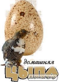 Суточные перепела, перепелиные яйца
