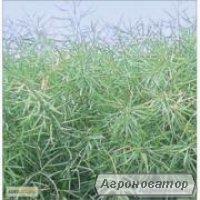 Семена озимого рапса гибрид ЛЕМБКЕ Артус