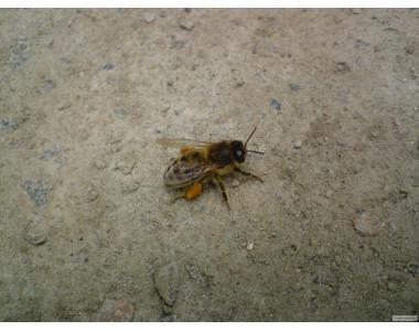 продаю пчелосемьи и пчелопакеты