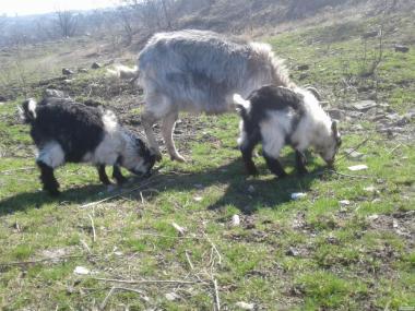 Продам козлят и молодых козочек