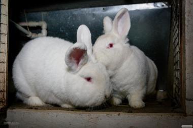 Продаю кроликов породы БСС (Евросеребро), Новозеландская белая (НЗБ)