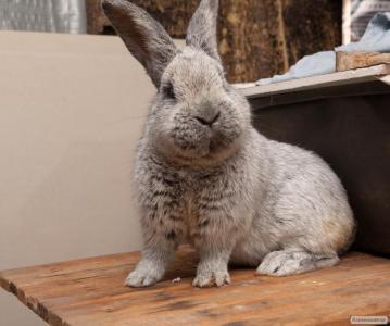 Продаю кроликів породи БСС (Евросеребро), Новозеландська біла (НЗБ)
