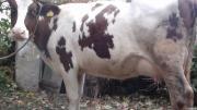 Продаю корову породи Голштин.