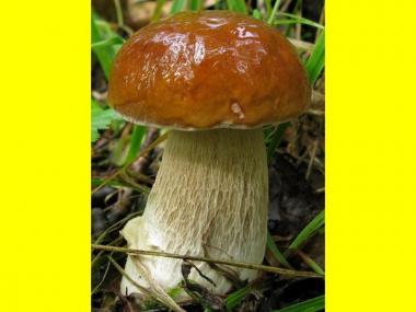 Мицелий Белого гриба березового (Boletus betulicola)