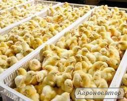 Суточные цыплята / Цыплята бройлер КОББ-500, РОСС-308 (ROSS-308)