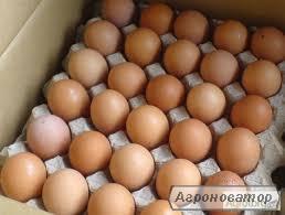 Продам Яйце інкубаційне куряче - Фоксі Чик (Foxy Chick)