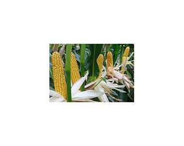 Насіння гібридів кукурудзи компанії «МОНСАНТО» (MONSANTO)
