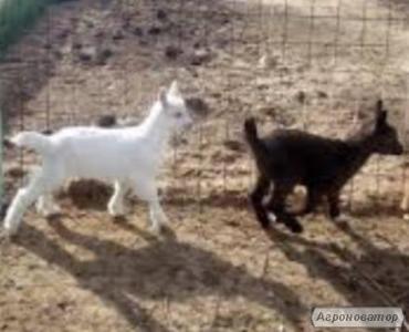 Продам діток домашньої молочної кози.