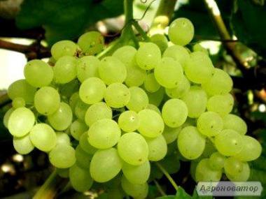 Продам столові сорти винограду оптом