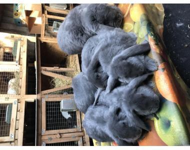 Продам молодняк кроликов французского барана голубого окраса