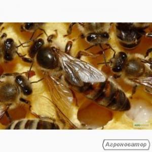 Пчеломатки плодные меченые Украинской степной породы 2020г