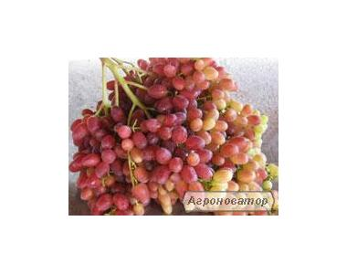 Саджанці винограду Велес,вікторія
