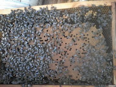 Пропоную якісні, плідні, мічені бджоломатки карпатської породи з травн
