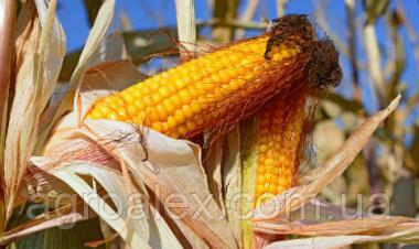 Гран 5 гібрид кукурудзи ВНІС