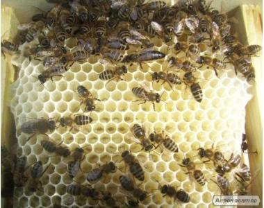 бджоломатки з бджолоросплідника на 2018 рік