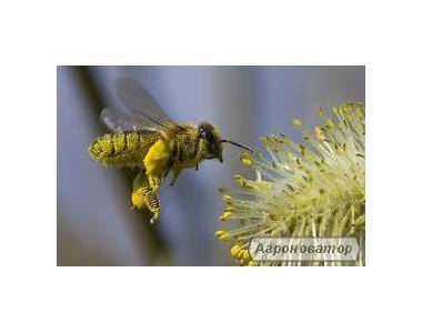Бджолопакети Карпатської бджоли