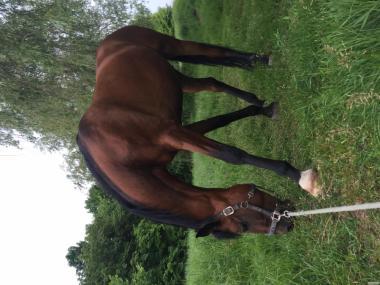 Кінь спортивна конкурная