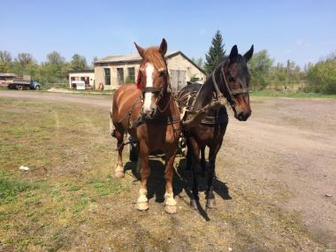 Продам робочі коні