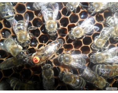 Продам бджолопакети Карніка F-1..