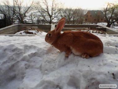 продам кролей бургунцев