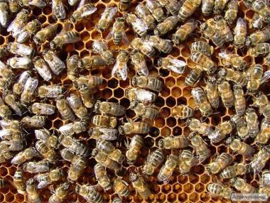 Продам пасіку , бджолосім'ї , сім'ї бджіл, бджолопакети