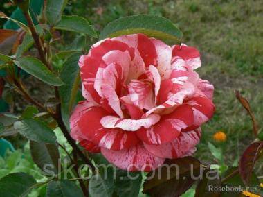 Роза красно белая чайно-гибридная Papageno (Папагено)