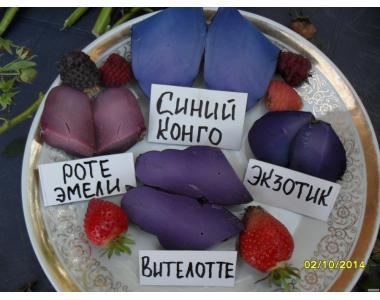Посадковий сортову картоплю з цілющою кольоровою м'якоттю-25 сортів