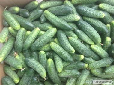 Продам насіння огірків оптом і в роздріб