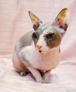 Попередній запис на кошенят донського сфінкса.