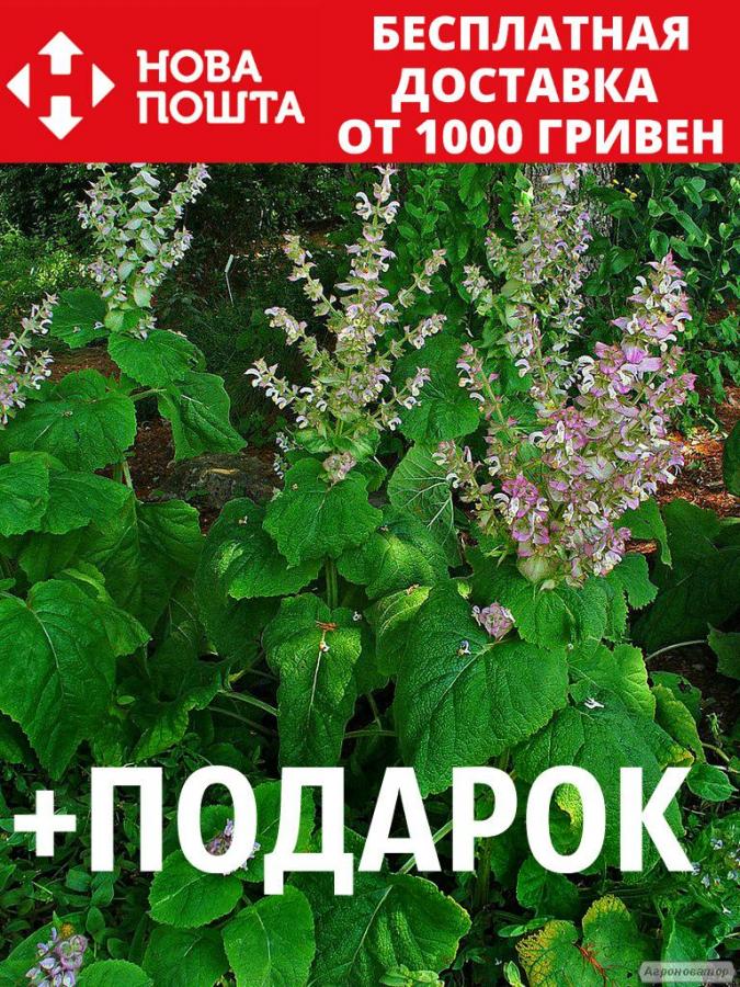 Шалфей мускатный семена 20 шт шавлія сальвия насіння (Salvia sclarea)
