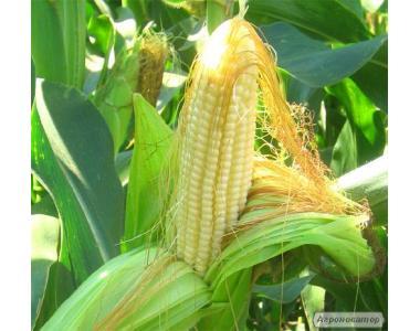 Семена кукурузы урожай 2014 год