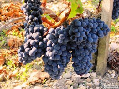Натуральне екологічне червоне сухе вино МЕРЛО