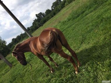 Продам хорошую рабочую лошадь