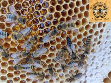 Плодные меченые матки карпатской породы. Пчеломатки.