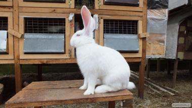 Продам кролики породи Панон