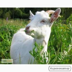 Продам стадо кіз.